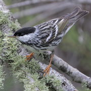 Male. Note: black cap and white cheeks.