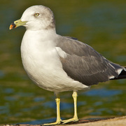 Adult. Note: pale eye, sooty nape, dark bill band with red tip, and yellow legs.