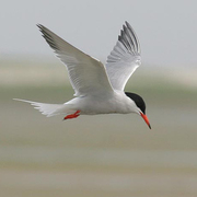 Adult breeding. Note: red bill with black tip and dark upper primaries.