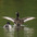 Male. Note: long white stripe in wing.
