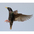 Breeding plumage in flight.