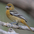 Female. Note: browish-yellow head and orange-yellow breast.