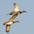 Pair in flight (male leading).
