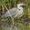 Juvenile. Note: dark crown and streaked neck.