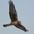 Female Northern Harrier. Note: streaked belly.