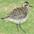 Adult winter plumage.