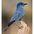 Adult. Note: blue body with deep blue head, heavy bill.